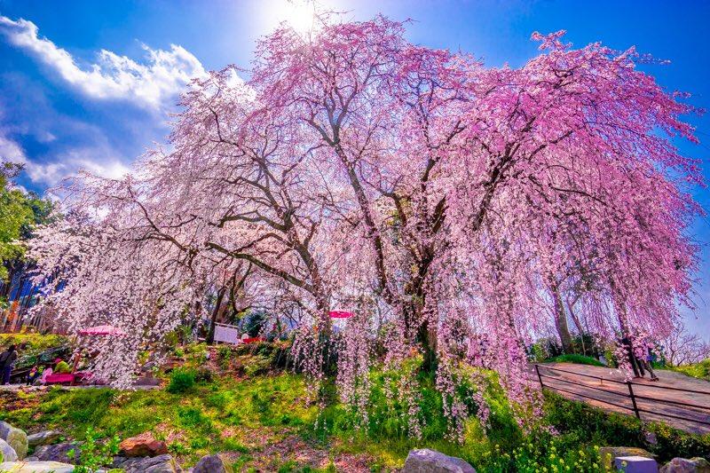 Mùa sakura Nhật Bản qua ống kính của một nhiếp ảnh gia.10
